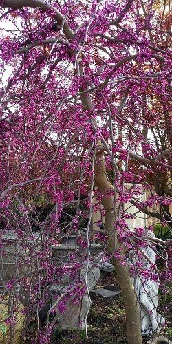 Cercis Canandensis Ruby Falls Redbud Flowering Trees Specimen Trees Tree