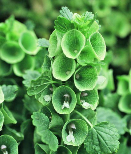 Amazon Com Bells Of Ireland 150 Seeds Shell Flower Moluccella Laevis Easy Grow Combsh I37 Garden Outdoor Fragrant Plant Flower Seeds Flowers