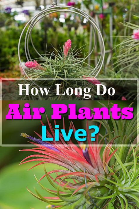 How Long Do Air Plants Live Air Plants Plants Dying Plants