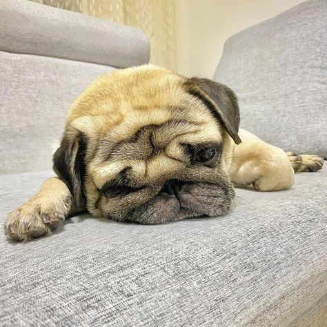 It's been a pretty long day... Don't wake me up anytime soon, please! 😴 #pugstuff, #cutestpuppies, #cutepugs, #adorablepugs, #puglover, #pugbaby, #pugpictures, #funnypugs, #puppypug, #pugsfunny, #pugscutest, #babypugs, #pugpuppies, #pugtips, #babypugscute, #cutebabypugs, #happypug, #smallpug, #cutestpugs, #puppies,