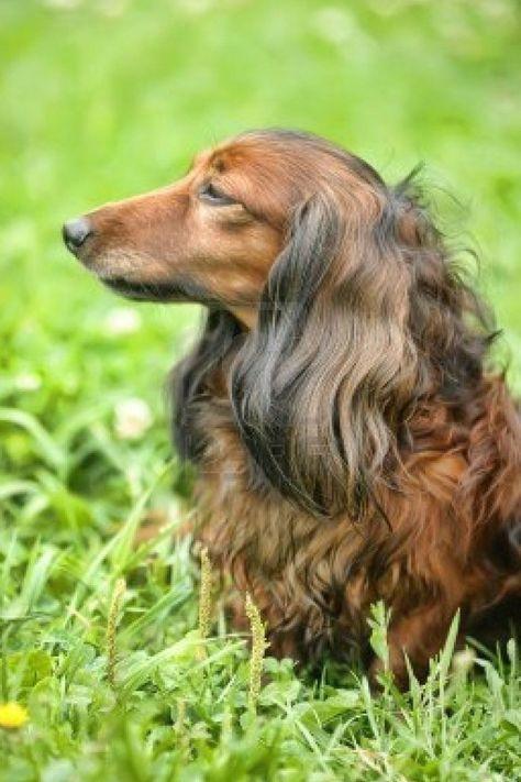 ♡Long-haired Miniature Dachshund♡ #Labrador #puppy #Retriever