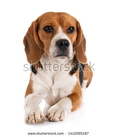 Get Healthy And Ethically Bred Beagle Puppies For Sale Beagle