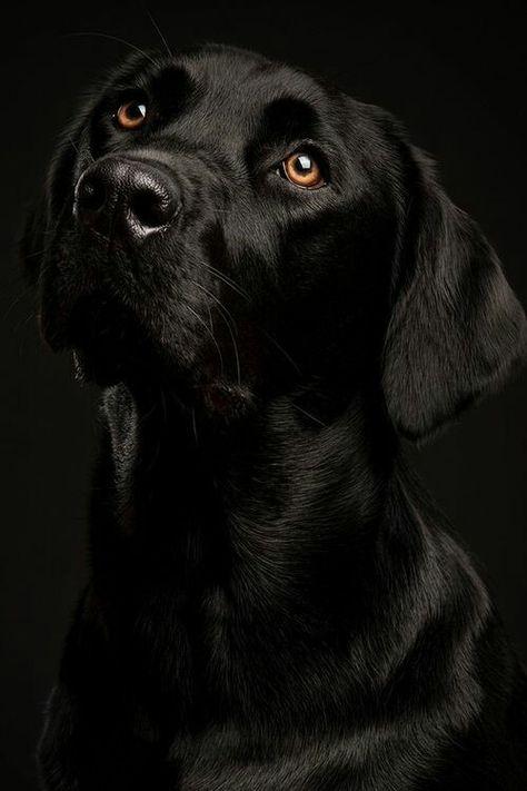 C Est La Vie With Images Black Labrador Labrador Retriever
