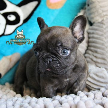 French Bulldog Puppy For Sale In Ojai Ca Adn 70728 On