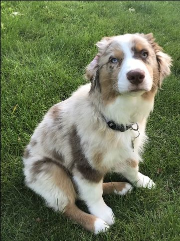 Australian Shepherd Puppy For Sale In Rochester Mn Adn 44283 On Puppyfinder Com Gender Male Australian Shepherd Australian Shepherd Puppies Puppies For Sale