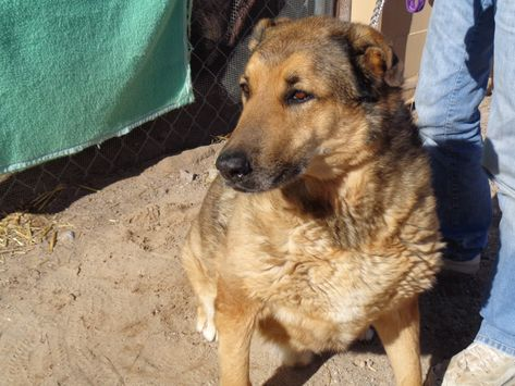 German Shepherd Dog Dog For Adoption In Golden Valley Az Adn