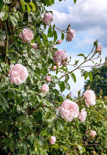 The Yearly Sale Of Bare Root Roses Has Arrived At Our Local Aldi Each Year Around Early February Aldi Brings In Bagged Bare Rooting Roses Planting Roses Rose