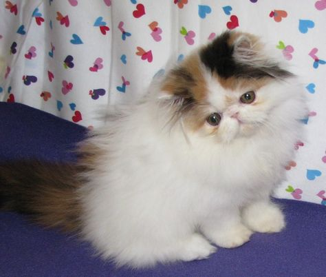 Google Image Result For Http Www Wuvpawspersians Com Img 0050 640x543 Jpg In 2020 Persian Kittens For Sale Teacup Persian Cats Teacup Kitten