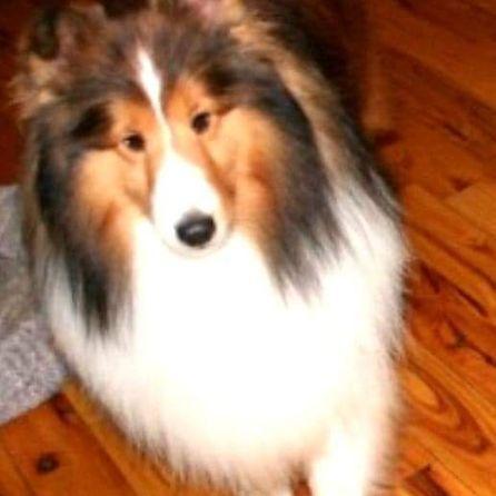 Sue S Shelties Ohio Sheltie Sheltie Puppies For Sale Sheltie Puppy