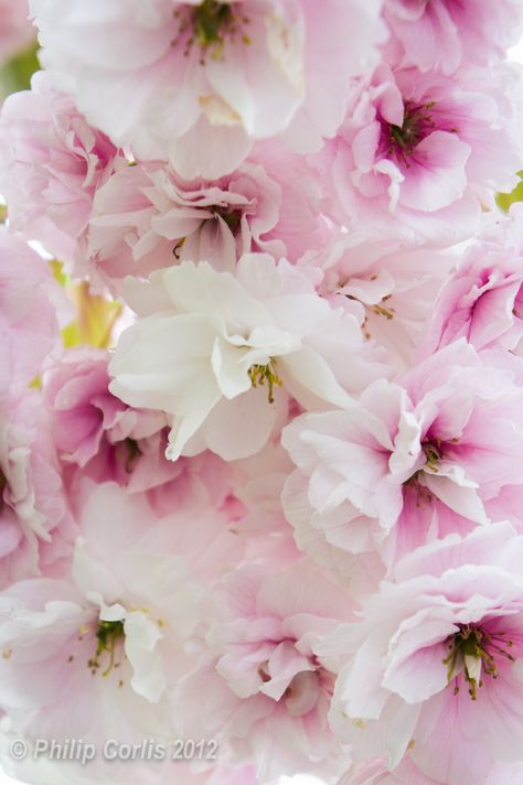 Cherry Blossoms Berkhamsted England Flowers Blossom Bloom