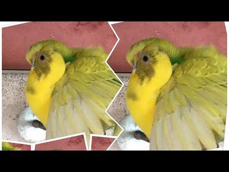 بادجي البادجي طيور البادجي صوت تزاوج طيور البادجي لتحفيزها Youtube Animals Parrot Bird