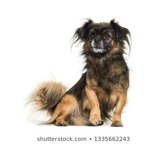 Tibetan Spaniel Sitting In Front Of White Background Alone