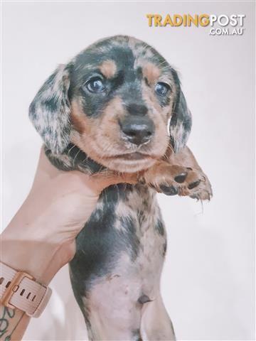 79 Mini Dachshund Puppies Dapple In 2020 Mini Dachshund Dapple Dachshund Puppy Dachshund Puppies