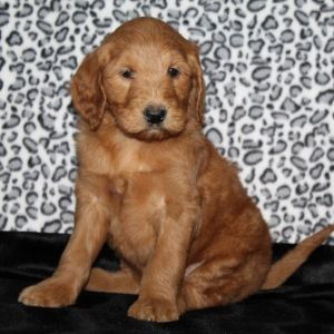 Sally Goldendoodle Puppy 586988 Puppyspot Puppies