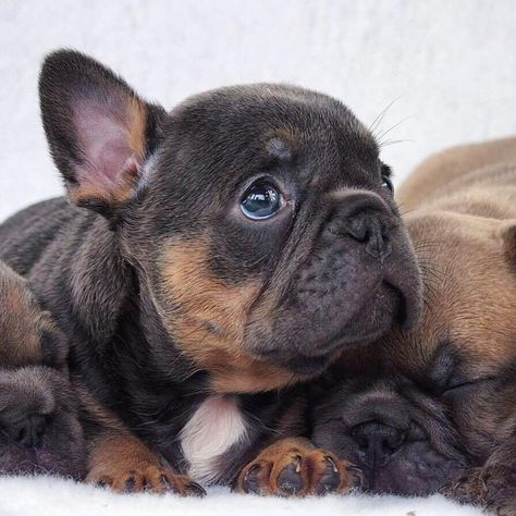 """Gefällt 16.1 Tsd. Mal, 209 Kommentare - French Bulldog (@frenchie.world) auf Instagram: """"Romeo! 💣💯✔ Beautiful blue and tan pup! For all the info contact our friend @jackal246 . . . .…"""""""