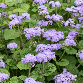 Ageratum Blue Mink In 2020 White Gardens Seeds Cream Flowers