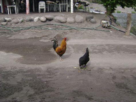 Por qué Bill Gates piensa que criar pollos puede solucionar un enorme problema mundial - La otra cara de la moneda