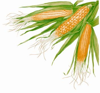 Your all-inclusive guide to growing sweet corn. Read about the varieties best suited to home gardens, when and how to plant seed, disease and pest prevention, and harvesting and seed saving.