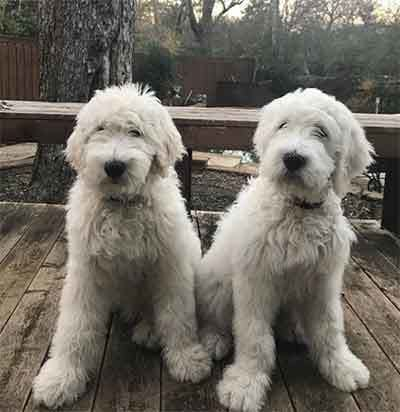 All About The Cute Affectionate Pyredoodle Dogs Dog Breeds