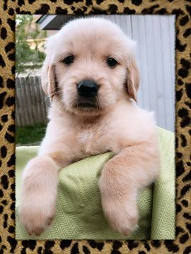 Golden Retriever Puppy For Sale In Missouri City Tx Adn 70328 On