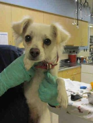 Riverside Ca Id A1427486 Puppy Alert I Am A Female White