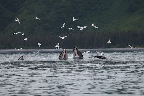 Humpbacks Bubble Net Feeding - Kenai Fjords National Park