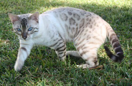 Your Fuzzy Friend Cat Tips For Owners Bengal Kitten Bengal Cat