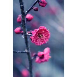 Kanko Bai Flowering Apricot Prunus Mume Prunus Fruit Trees