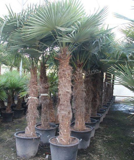 Trachycarpus Fortunei In 2020 Garten Pflanzen Gartencenter Pflanzen