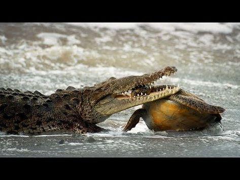 708315828 Amazing Crocodile Hunting Mother   Baby Sea Turtle