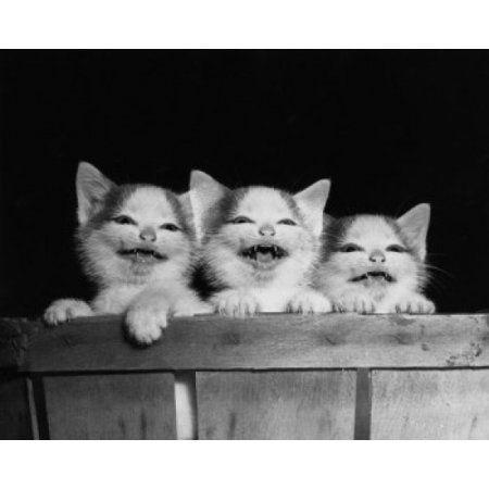 Home Kittens Cats Kittens Buy A Kitten