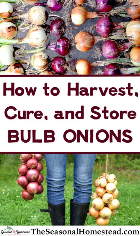 How to Harvest, Cure, and Store Onions - The Seasonal Homestead Onion Storage, Food Storage, Water Storage, Kitchen Storage, Organic Gardening, Gardening Tips, Organic Fertilizer, Organic Farming, When To Harvest Onions