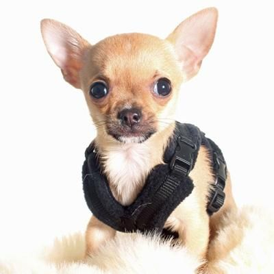 Tiny Perfectfit Complete Harness 1 2 For Chihuahua Puppies And
