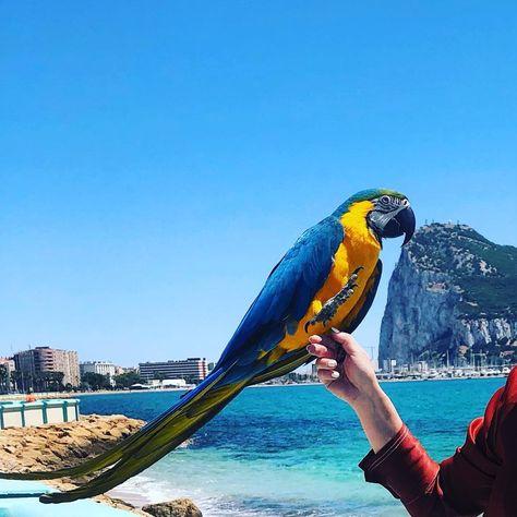 "Ronni & KP on Instagram: ""#babyparrot #lorosdeinstagram #beautiful #instalike #instafun #petstagram #love #guacamayo #instadaily #macawparrot #blueandgoldmacaw…"""