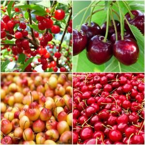 Online Orchards 4 In 1 Cherry Jubilee Tree Bare Root Cbch004 Cherries Jubilee Edible Garden Home Grown Vegetables