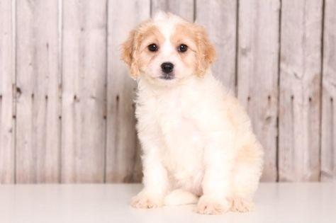Cavachon Puppy For Sale In Mount Vernon Oh Adn 33563 On Puppyfinder Com Gender Female Age 9 Weeks Old Cavachon Puppies Puppies For Sale Cavachon