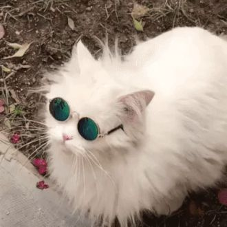 Fashionable cat with glasses - Animated GIF
