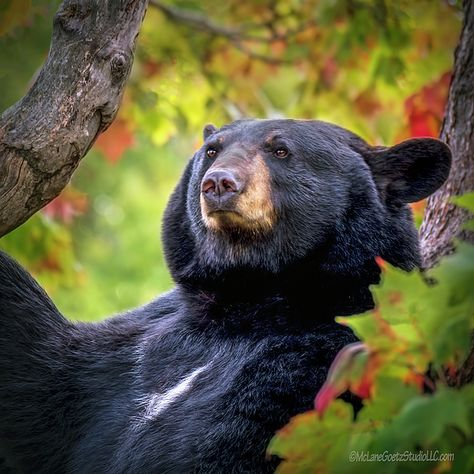 Fall Black Bear By LeeAnn McLaneGoetz McLaneGoetzStudioLLC.com Michigan Upper Peninsula is a great place to see the bears play in the foliage of the fall trees. #Fall,#Bear,#Michigan, #McLaneGoetzStudioLLC.com