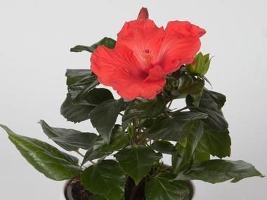 Roza Chinska Ketmia Hibiskus Hibiscus Plants