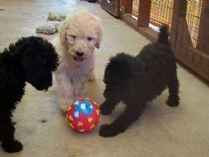 They Are Adorable Standard Poodle Pups We Are So Sorry We