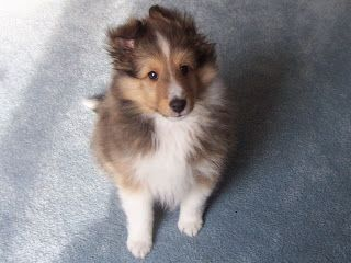 Pin On Lassie Dogs Are Too Precious