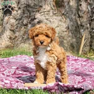 Pin By Greenfield Puppies On Miniature Poodle Poodle Dog Breeds