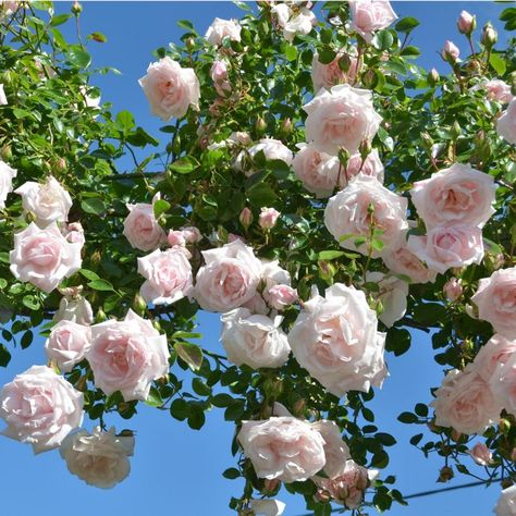 New Dawn - English rose climbers Dreer - 40 petals zone 5-9 introduced 1930