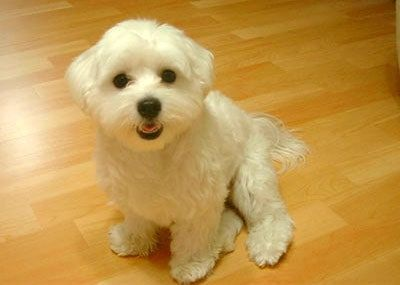 15 Maltese Haircuts Hairstyles White Fluffy And Looking Fabulous Maltese Dog Breed Maltese Puppy Maltese Dogs