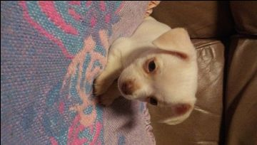 Malchi Puppy For Sale In Flint Mi Adn 21077 On Puppyfinder Com
