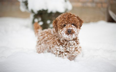 Download Wallpapers Poodle Small Puppy Brown Dog Curly Puppy