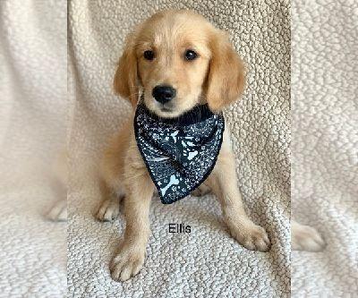 Golden Retriever Puppies Salina Classified Ads Claz Org Sold Golden Retriever Brittany Spaniel Cross Price Negotiable Dog Golden Retriever Retriever Puppies