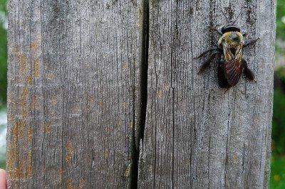 Carpenter Bee Control How To Prevent Carpenter Bee Damage Carpenter Bee Carpenter Bees Damage Bee Repellent
