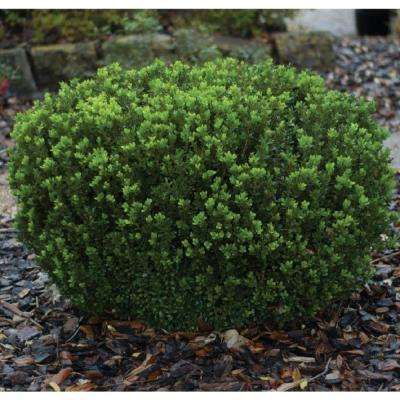 Shrubs Bushes Plants Garden Flowers The Home Depot Southern Living Plants Planting Shrubs Southern Living Plant Collection