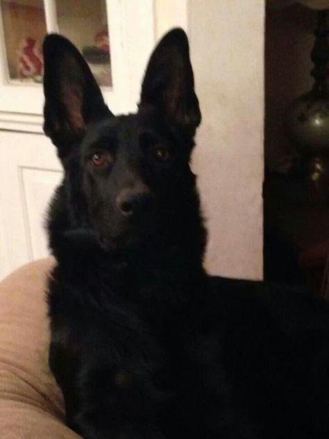 Morton Grove Il German Shepherd Dog Meet Joy A Pet For